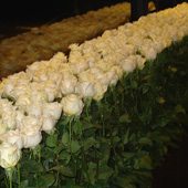 Jens Jakobson Events: white long stemmed roses