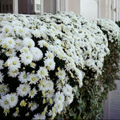 Jens Jakobson Garden: white chrysanthemum window box